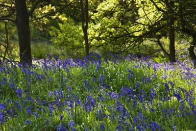 Bluebell Wood (D18015M)